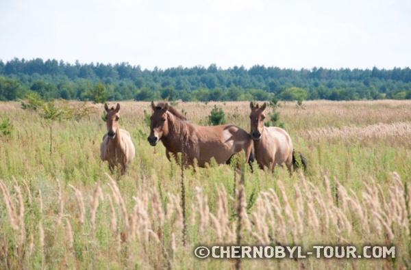 Дикие лошади Пржевальского, стадо в Копачах